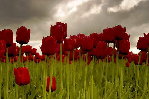 Tulips on a stormy day