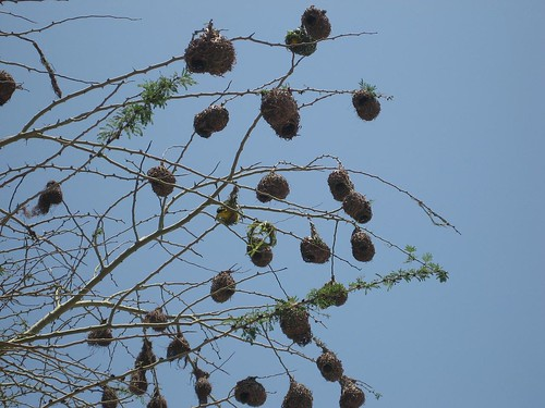 weaver nests Richards Bay SA
