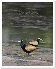 Bronze-winged Jacana (Metopidius indicus) (Z.Faisal) Tags: bird nature nikon beak feathers aves nikkor bangladesh avian bipedal bangla faisal feni desh d300 zamir indicus jacana pakhi bronzewingedjacana metopidiusindicus endothermic nikkor300mmf4 bronzewinged muhuri metopidius zamiruddin zamiruddinfaisal dolpipi zfaisal muhuriproject muhuridam
