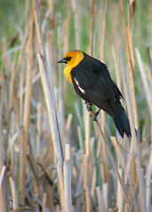 King Of The Cattail (BigSkyKatie) Tags: wild black male bird nature cat spring pond montana natural tail cattails national marsh bison range tails nationalbisonrange yellowheaded nwr bigskycountry naturesfinest nbr moiese avianexcellence natureoutpost goldstaraward katielasallelowery vosplusbellesphotos