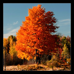 ~ Orange Tree ~ (ViaMoi) Tags: city travel blue autumn sky orange ontario canada color colour fall nature colors beautiful leaves digital forest canon landscape photography leaf flickr colours photographer ottawa capital newmedia canadian adobe 2008 naturalist cubism naturesfinest blueribbonwinner imagist supershot ottawacanada golddragon 40d abigfave platinumphoto anawesomeshot colorphotoaward aplusphoto diamondclassphotographer flickrdiamond citrit theunforgettablepictures canon40d naturewatcher colourartaward excapture betterthangood viamoi goldstaraward photographybyviamoi damniwishidtakenthat flickrlovers 100commentgroup
