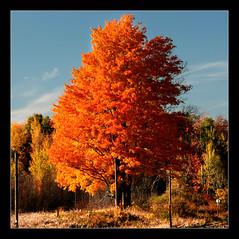 ~ Orange Tree ~