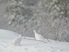 Lagopde des saules / Willow Ptarmigan (Rock Arsenault) Tags: blanche perdrix vanagram lagopdedessaules