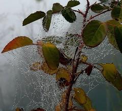 In Inverno anche il  ragno diventa nevrotico (White Red Flower) Tags: winter rose fog spider drops rosa cobweb nebbia inverno ragno gocce ragnatela nevrosiinvernale winterneurosis