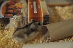 Lena (virlander) Tags: lena hamsters hamsteri