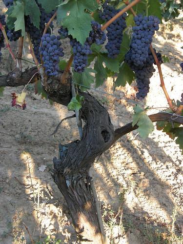 Uvas para hacer el vino español