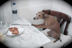 Never leave your Schnitzel alone... (Dada Mar) Tags: dog cute table spoiled schnitzel italiangreyhound thelittledoglaughed thedogwhispererwouldgiveuphisprofessionifhegetstoknowemkaiamsure dogstealingfood