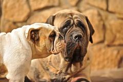 [フリー画像] [動物写真] [哺乳類] [イヌ科] [犬/イヌ] [ブルドッグ] [マスティフ]     [フリー素材]
