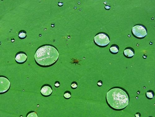 nature drops leaf green lotus spider aquatic Nelumbo nucifera Nymphaeaceae water