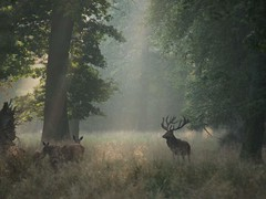 P9278222 (Hunter-Desportes) Tags: morning light red forest denmark deer mature dyrehaven brunst