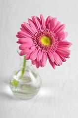 PINK (Khaled A.K) Tags: pink stilllife flower photography sa jeddah saudiarabia khaled ksa saudia jiddah kashkari