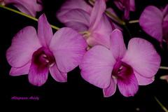 Orqudeas/Orchids (Altagracia Aristy) Tags: macro closeup blackbackground amrica orchids dominicanrepublic tropic caribbean orqudeas antilles laromana caribe primerplano repblicadominicana shortfocus fondonegro trpico antillas sfondonero quisqueya fujif40