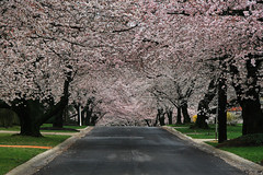Cherry Blossom Street (` Toshio ') Tags: road street pink trees flower green nature grass washingtondc petals spring natural country hill blossoms perspective maryland neighborhood cherryblossoms trunks canopy bethesda kenwood midatlantic toshio naturesfinest dcmetroarea platinumphoto