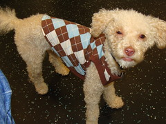 Teddy in his Carolina Blue argyle