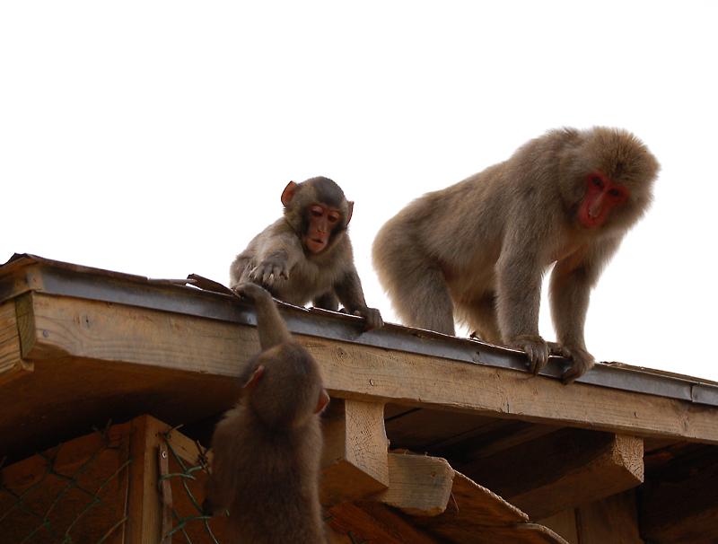 _monkey-13_