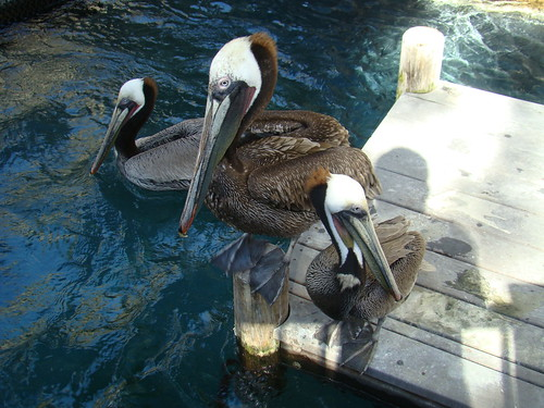 Brown Pelicans at the Los Angeles Zoo
