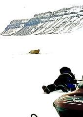 Doomed to fail - but fun (jan.of.norway) Tags: winter snow mountains norway frozen hunting freezing slidefilm svalbard arctic seal scanned mission fjord guide polar mammals spitsbergen snowmobile seaice photoshooting reversalfilm outdatedfilm kobbe beardedseal erignathusbarbatus 03053 tempelfjorden showaround storkobbe