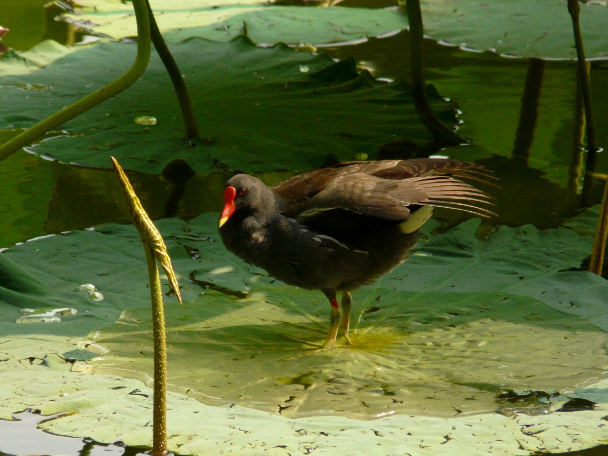 Common Moorhen (Gallinula chloropus) - 紅冠水雞