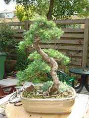 DSC02042 (jeremy_norbury) Tags: bonsai trimming larch