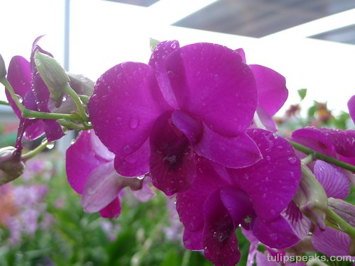 Orchid @ Putrajaya Floria Festival 2009