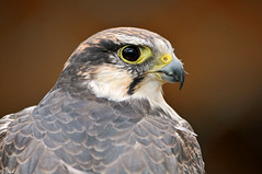 Portrait of a falcon (Tambako the Jaguar) Tags: portrait france bird face zoo nikon head raptor falcon impressive birdofprey d300 amnville falcobiarmicus