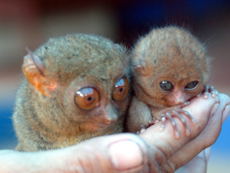 tarsier-philippines-09 by you.