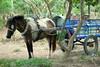 Horse Cart Riding (Rainedom) Tags: sunset sky people colors fruits animals canon children fun boat coconut rich culture vietnam swamp rides hcmc mekongriver vungtao 400d rainedom rainescape