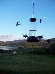 flight of the hummingbird (rpastorelle) Tags: colorado hummingbird veganationalpark