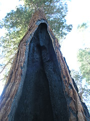 Ausgehhlter Sequoi (dopan) Tags: california park national sequoia mammutbaum