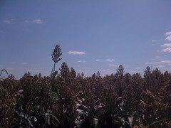Iowa sorghum field.