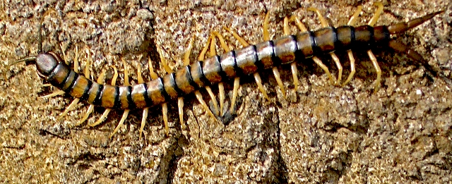 Centipede, Hawaii