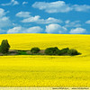 Blooming canola fields in Latvia (Latvia (www.visitlatvia.lv, tourism website)) Tags: travel tourism nature field spring baltic latvia eco conola wwwvisitlatvialv