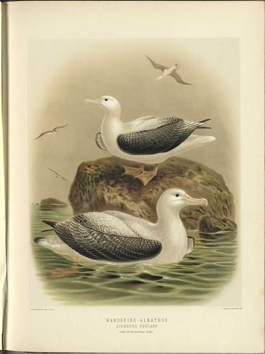 Wandering Albatross - Diomedea eluxans