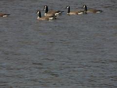 P1010563 (MeRyan) Tags: public birds rivers