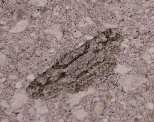 Iridopsis Species