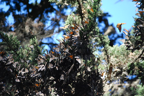 Monarchs at Pacific Grove