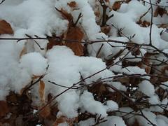 Snow ... beech twigs.