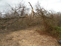 DSCN5334hackberry fr S (Aubunique) Tags: icestorm treesdamaged worldpeacewetlandprairie january2009 swampmilkweedpod fayettevilear hackberrytreedown dovehabitat
