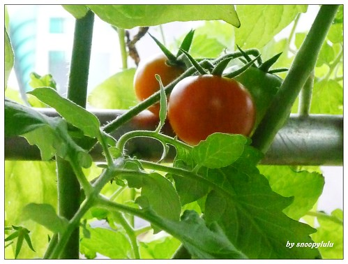 你拍攝的 蕃茄成熟時。