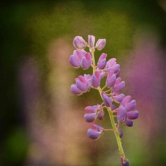 Up front (halifaxlight) Tags: pink summer canada flower texture square oakland novascotia bokeh mauve picturesque lupin logotip bokehlicious colorphotoaward vanagram vanagrammofon