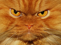 Garfi-I look scary but I am not!!! (E.L.A) Tags: cat persian orange garfi kitty kitten swe
