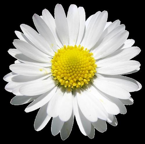Pornostar daisy