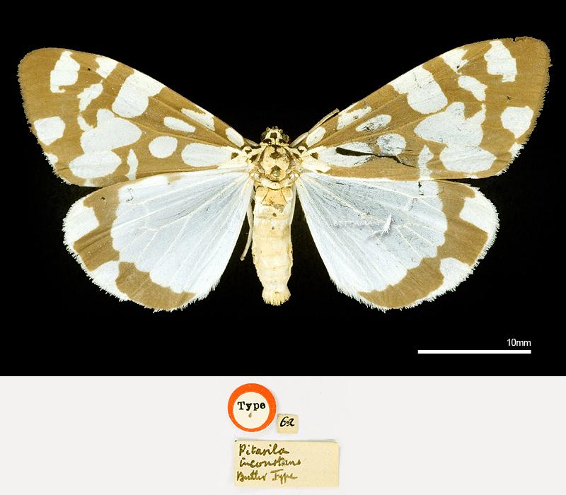 BMNH_Lectotype_Utetheisa (Pitasila) inconstans (Butler, 1880)