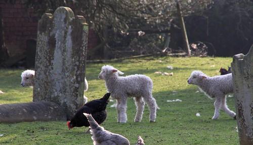 Lambs in the Churchyard