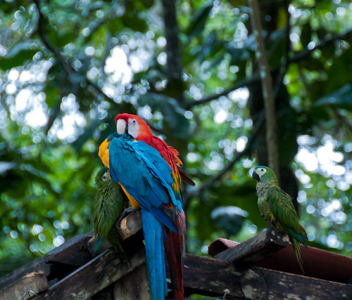 Parrots in the Amazon (photo by Orthopod1)