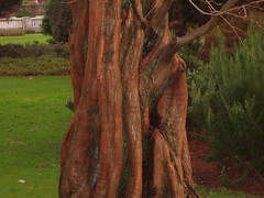 Dawn Redwood Tree (DAVOCON PHOTOS) Tags: tree garden trunk redwood bournemouth centralgardens dawnredwood