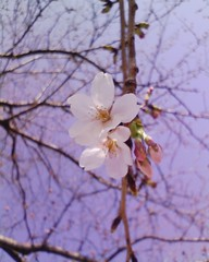 保育園の桜
