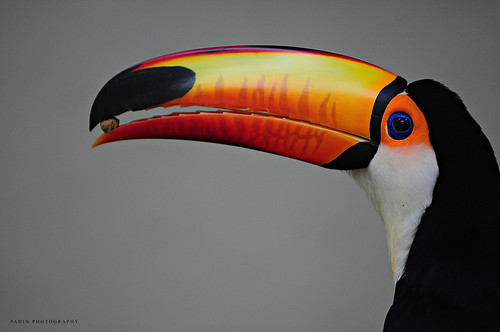 Hornbill by PadinPhotography.