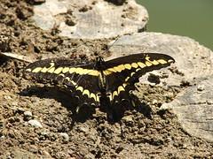 Butterfly at the Japanese Friendship Garden in Phoenix, Arizona