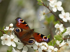 Peacock Butterfly (Megashorts) Tags: uk flowers flower nature butterfly bug insect petals spring blossom wildlife buckinghamshire peacock olympus petal milton keynes 1001nights 70300mm zuiko 2009 tattenhoe e510 zd mkf golddragon mkftattenhoe macrolife